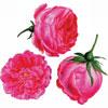 Trois roses - Redouté - puzzle Michèle Wilson 150 pièces