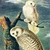 Chouettes des Neiges - Audubon- puzzle Michèle Wilson 250 pièces